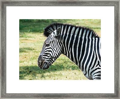 Grazing Zebra Framed Print