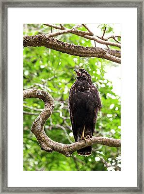 Great Black Hawking Calling In A Tree Framed Print by Paul Williams