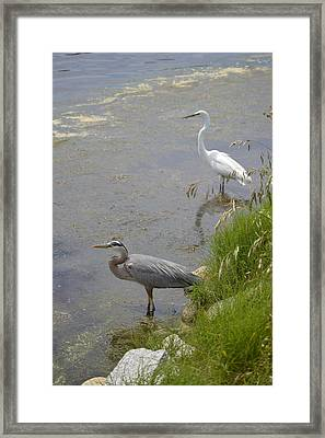 Framed Print featuring the photograph Great Blue And White Egrets by Judith Morris