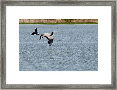 Great Blue Chased By A Grackle Framed Print by Roy Williams
