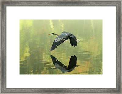 Great Blue Fly-by Framed Print