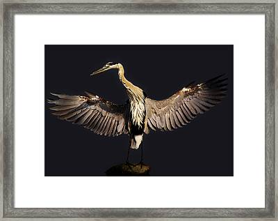 Great Blue Heron - # 15 Framed Print by Paulette Thomas