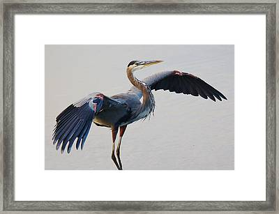 Great Blue Heron - # 21 Framed Print by Paulette Thomas