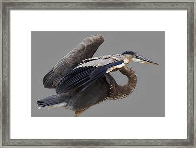 Great Blue Heron - # 4 Framed Print by Paulette Thomas