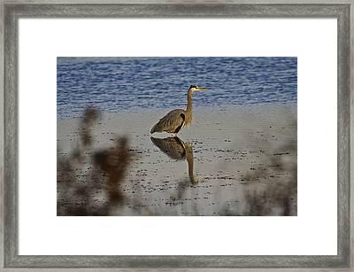 Great Blue Heron 1 Framed Print by SC Heffner