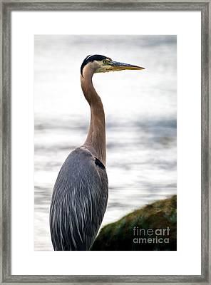 Great Blue Heron 5 Framed Print