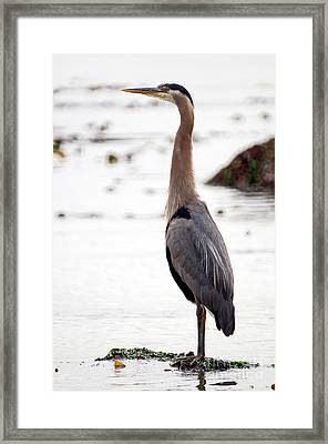 Great Blue Heron 7 Framed Print by Terry Elniski