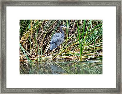 Great Blue Heron 9 Framed Print by Terry Elniski