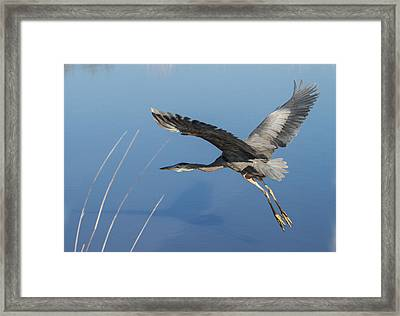 Great Blue Heron And His Shadow Framed Print