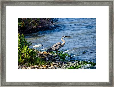 Great Blue Heron And Snowy Egret At Dinner Time Framed Print by Debra Martz