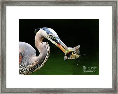 Great Blue Heron And The Catfish Framed Print