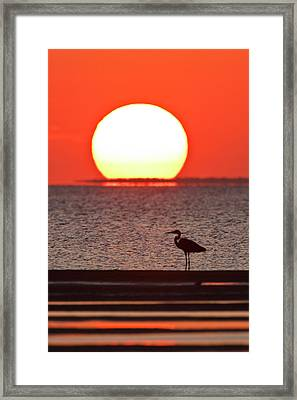 Great Blue Heron (ardea Herodias Framed Print