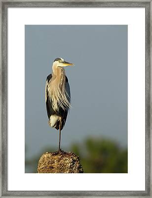 Great Blue Heron, Ardea Herodias, Viera Framed Print