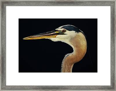 Great Blue Heron At Night Framed Print by Paulette Thomas
