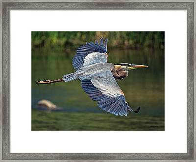 Great Blue Heron At The South Platte River Framed Print by Stephen  Johnson