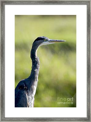 Great Blue Heron Backlit Framed Print