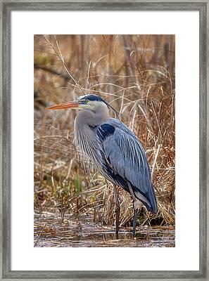 Great Blue Heron Framed Print by Bill Wakeley