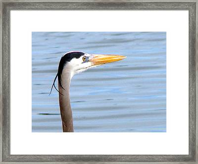 Framed Print featuring the photograph Great Blue Heron Breeding Profile by Linda Cox