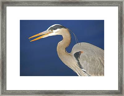 Great Blue Heron, Commonwealth Lake Framed Print