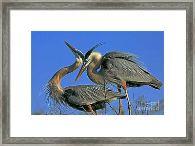 Great Blue Heron Courting Pair Framed Print