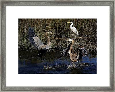 Great Blue Heron Courtship Framed Print by Paulette Thomas