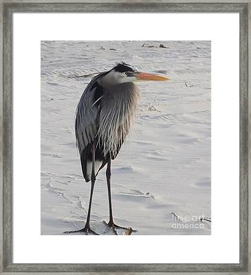 Great Blue Heron Framed Print by Deborah DeLaBarre