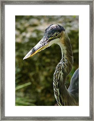 Great Blue Heron Framed Print by Dee Dee  Whittle