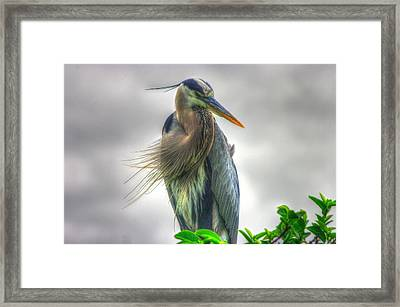 Great Blue Heron Framed Print by Dennis Baswell