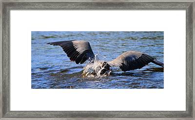Great Blue Heron Dive Framed Print