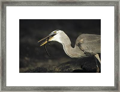 Great Blue Heron Eating Marine Iguana Framed Print