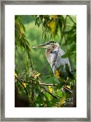 Framed Print featuring the photograph Great Blue Heron by Eva Kaufman