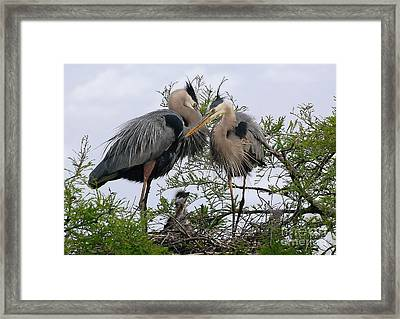 Great Blue Heron Family Framed Print by Kathy Baccari