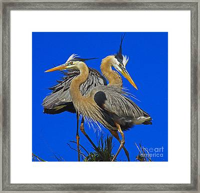 Great Blue Heron Family Framed Print