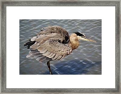 Great Blue Heron Feathers - # 24 Framed Print by Paulette Thomas