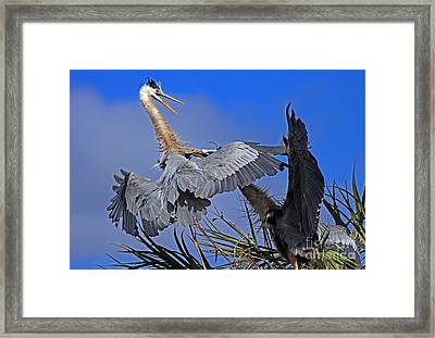 Great Blue Heron Fight  Framed Print by Larry Nieland