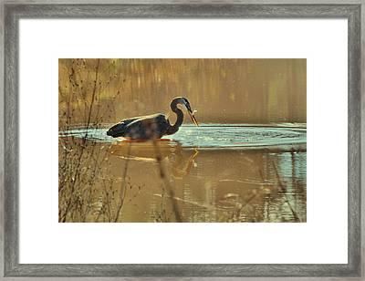 Great Blue Heron Fishing -3268c Framed Print by Paul Lyndon Phillips