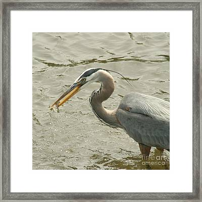 Framed Print featuring the photograph Great Blue Heron Fishing by Bob and Jan Shriner