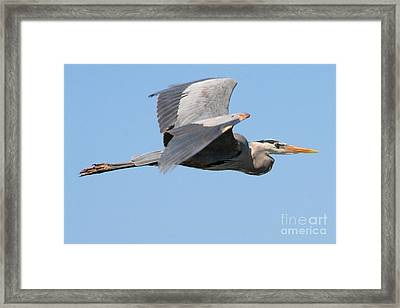 Great Blue Heron Flying Framed Print by Bob and Jan Shriner