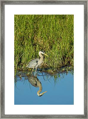 Great Blue Heron Hunting And Reflected Framed Print by Michael Qualls