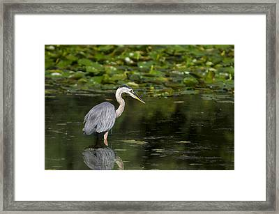 Great Blue Heron Hunting Framed Print