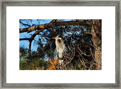 Great Blue Heron In A Tree - # 23 Framed Print by Paulette Thomas