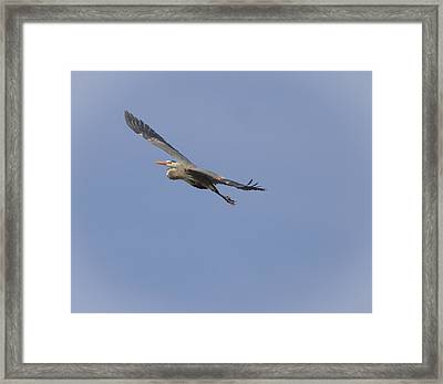 Great Blue Heron In Flight-2 Framed Print by Thomas Young
