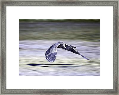 Framed Print featuring the photograph Great Blue Heron In Flight by John Haldane