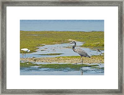 Great Blue Heron In Florida Framed Print by Natural Focal Point Photography