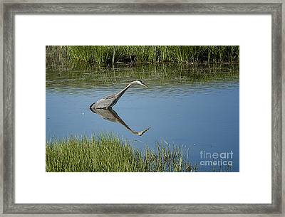 Great Blue Heron In Hayden Valley Framed Print by Bob Dowling