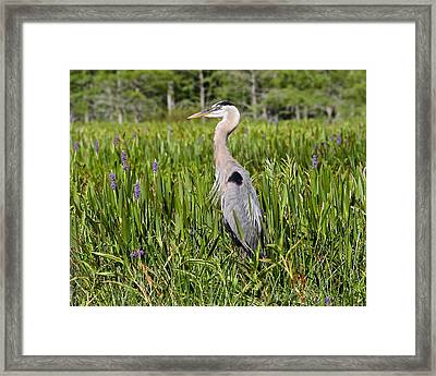 Great Blue Heron In Pickerel Plants Framed Print