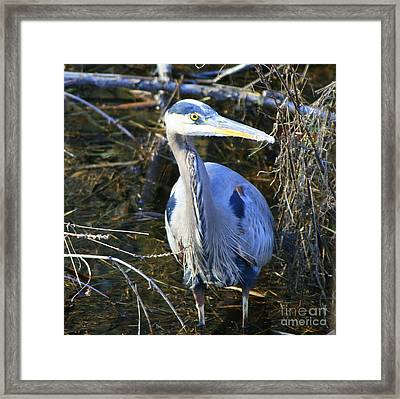 Great Blue Heron In Square Framed Print