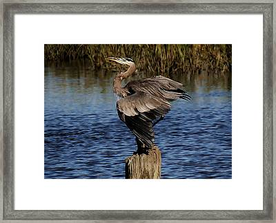 Great Blue Heron In The Marsh - # 17 Framed Print by Paulette Thomas