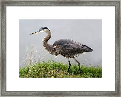 Great Blue Heron In The Marsh - # 5 Framed Print by Paulette Thomas