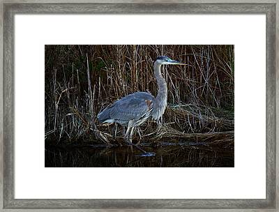 Great Blue Heron In The Marsh - #1 Framed Print by Paulette Thomas